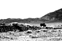 Cattle on Stone Dam
